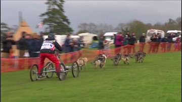 Muddy Waters! Dry-Land Dog Sledding Championship Deals With Muddy Grounds After Heavy Rains!