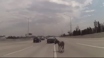 Watch: Officer corrals donkey on interstate near Chicago
