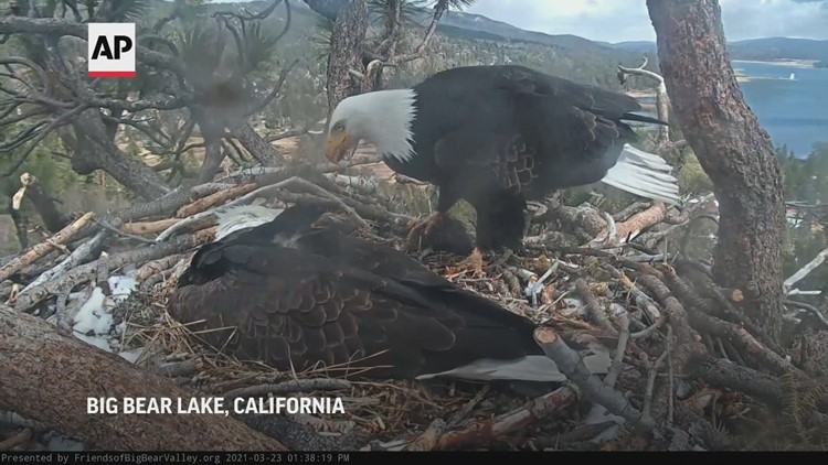 Bald eagle pair squawks as they tend egg in nest