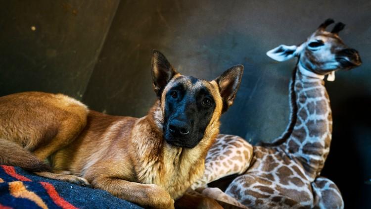 South Africa Orphan Giraffe