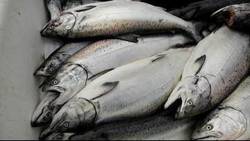 California king salmon make comeback after drought