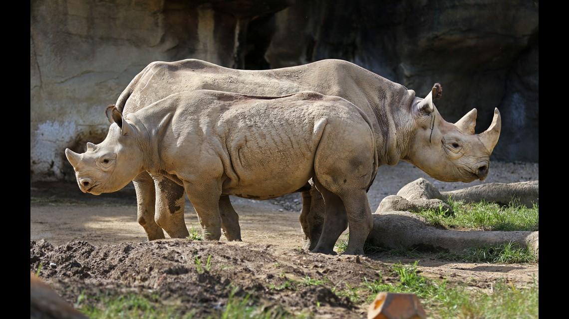 Baby rhino bites Cinci...