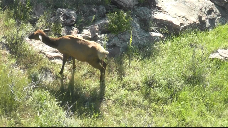 Photos: This is the elk mama who could!