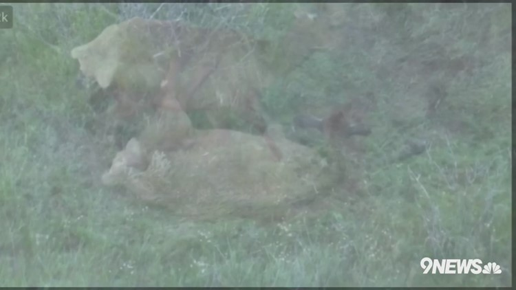 VIDEO   Cow Elk in labor atop Lookout Mountain