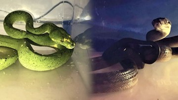 Over A Dozen Illegal Exotic Lizards & Snakes Found In Two Suitcases At Indian Airport