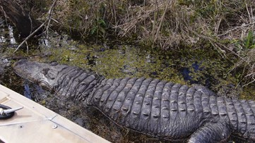 Woman Fined $53K for Feeding Alligators, Attracting Vultures to FL Housing Community