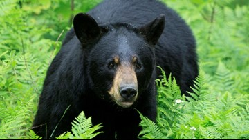 North Carolina town celebrates being home to some of world's largest black bears