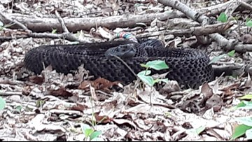 2 the Outdoors: Our neighbor the rattlesnake