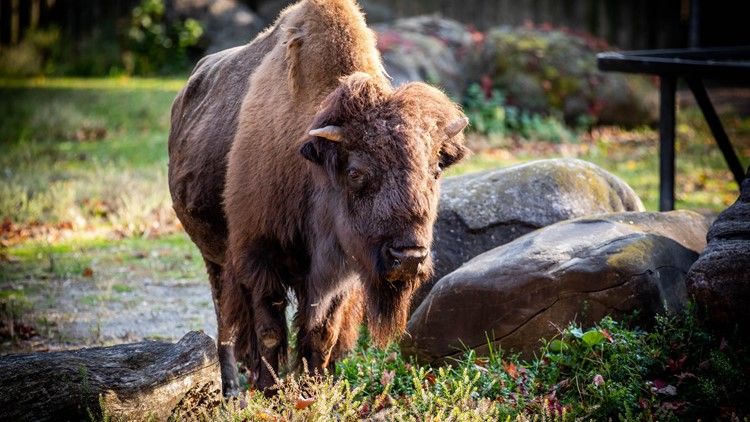 Buffalo Zoo announces death of Rose, the North American Bison