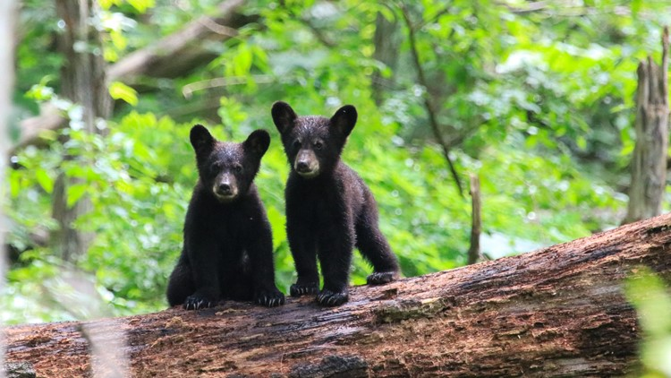 Allegany State Park reports more bears with human food