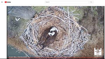 Live video of osprey nesting at Tifft Nature Preserve