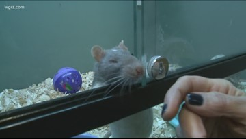 2 the Rescue: Fancy rats in need of homes