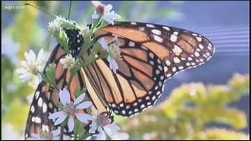 2 the Outdoors: Preserving the regal monarchs
