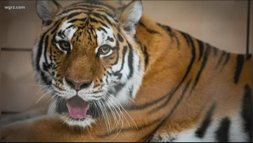 Buffalo Zoo welcomes new amur tiger 'Zhanna'