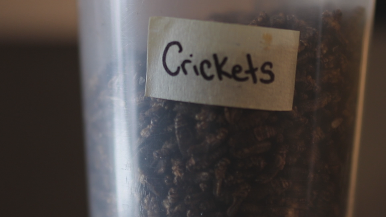 Crickets for Brittle