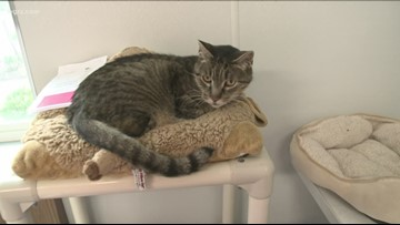 SPCA to reduce adoption fees for cats one year of age and older