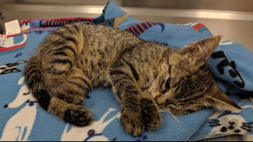 Genesee County Sheriff seeking information about kitten thrown from car