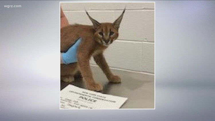 Amherst man sentenced to prison for trafficking African wild cats