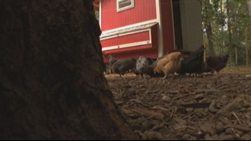 Push made to allow backyard chickens in City of Tonawanda