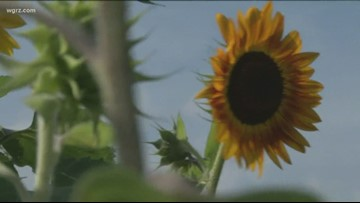 People break into Sunflower Field Overnight