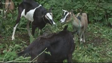Let's Goat Buffalo raising money for 'Goat-Tote'