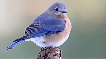 Birders count nuthatches, bluebirds in climate project