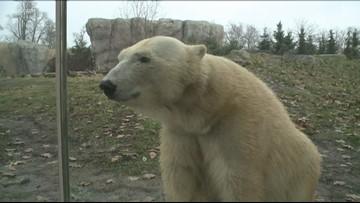 Luna the polar bear is not pregnant