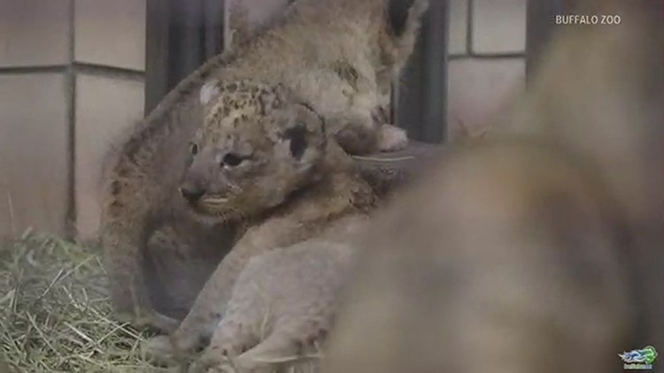 Behind the scenes with the baby lions at the Buffalo Zoo