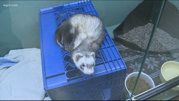 2 The Rescue: Ferrets  Gabe, Jasper and Roosevelt need a good home!