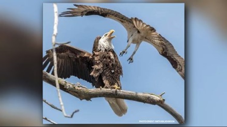 An uncommon sight was captured on camera recently as an osprey and bald eagle crossed paths at the Tifft Farm Nature Preserve. (Photo courtesy: Nathan Johnson)