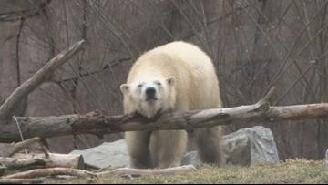 Luna the polar bear gets a physical at the Buffalo Zoo