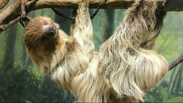 Zoo officials say Ethel outlived the average life span of two-toed sloths, which is 15-years. (Photos: Buffalo Zoo)