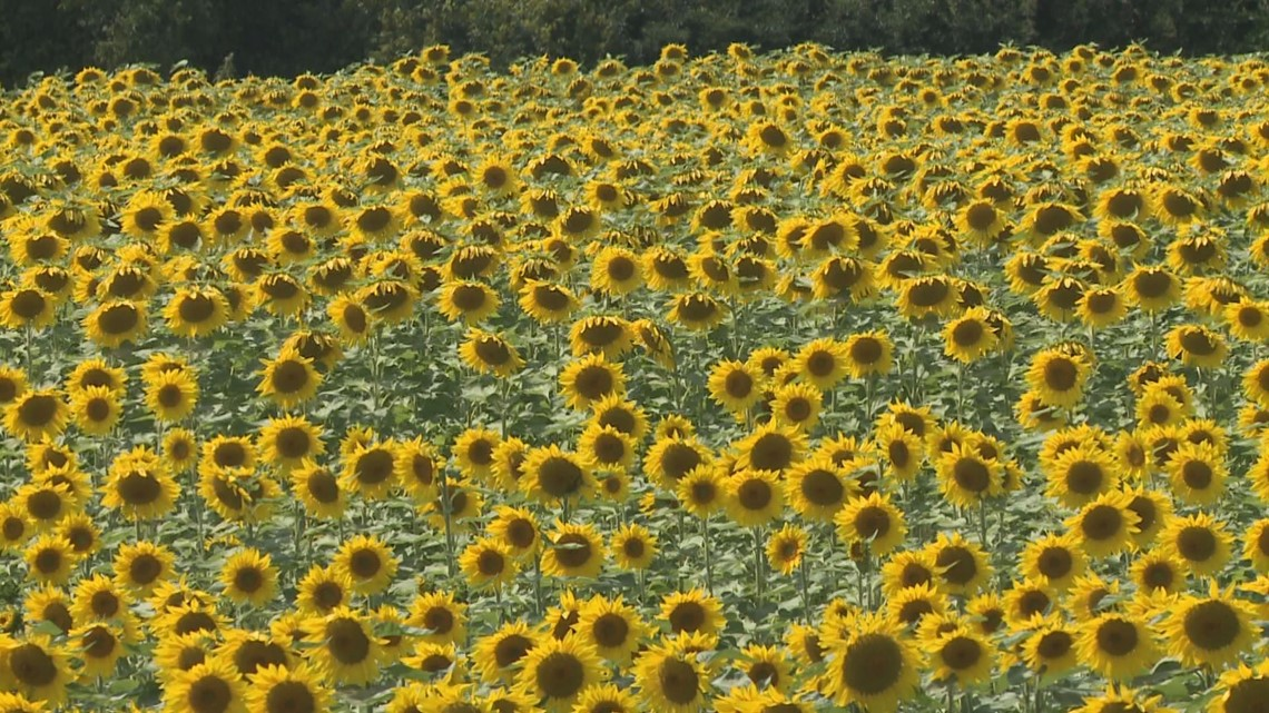 sunflowers of sanborn to open saturday