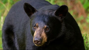 New York state surveying residents on black bear sightings