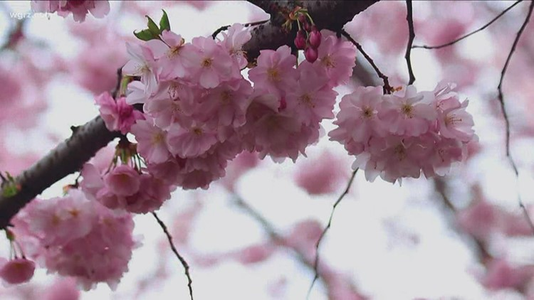Some cherry blossoms blooming early this year in Buffalo