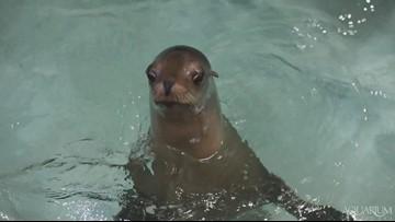Beloved sea lion returning to the Aquarium of Niagara