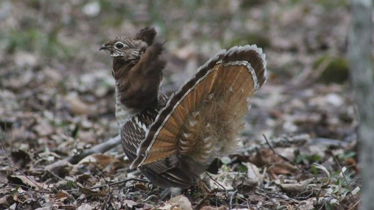 RUFFED GROUSE REV HEATHER FERRARA00000000_1540674604323.jpg.jpg