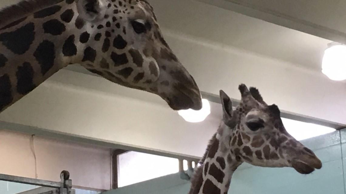 2 the Outdoors: Giraffes face silent extinction