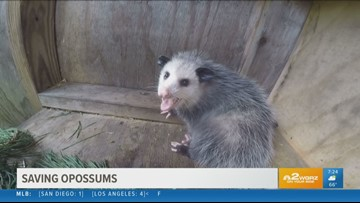 2 the Outdoors: Saving opossums