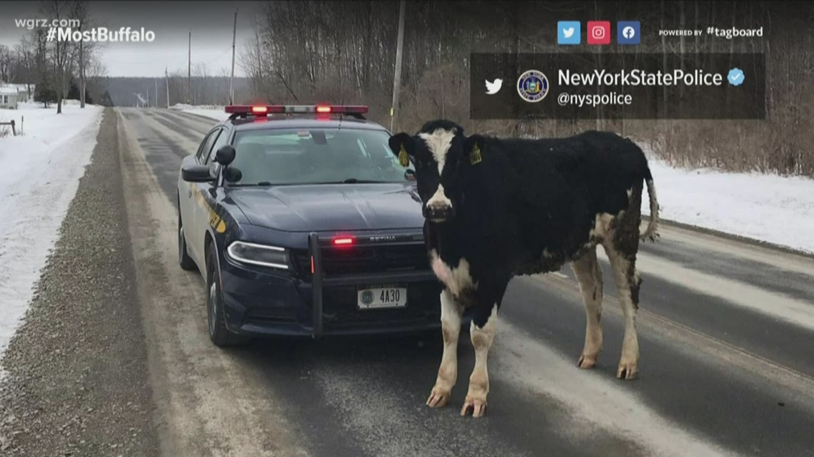 NYSP in a standoff with cow in Allegany Co.