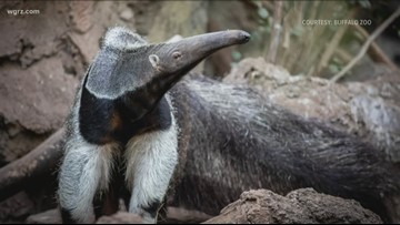 New giant anteater at the Buffalo Zoo