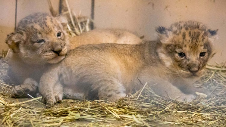 Behind the scenes with the Buffalo Zoo's new lion cubs