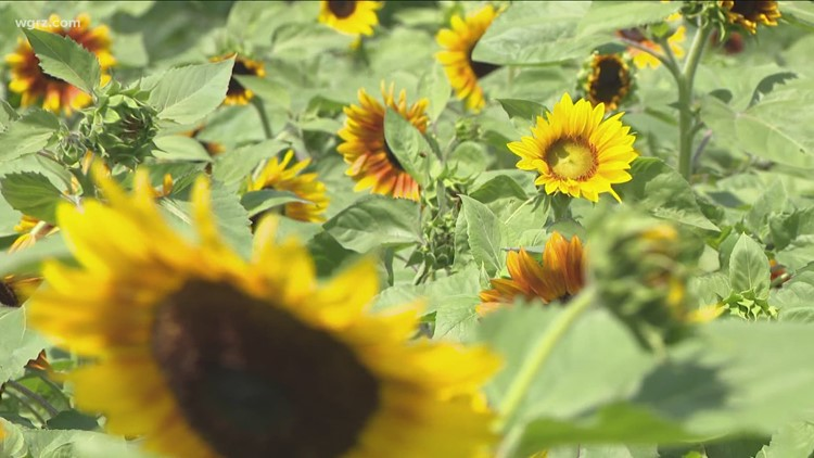The Sunflowers Of Sanborn Are Back