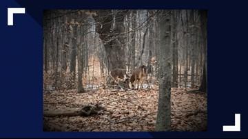 Two bucks' antlers get stuck together in Reinstein Woods