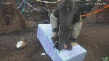 Happy 21st Birthday, Haji The Anteater!