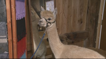 East Aurora farm is home to more than 60 alpacas