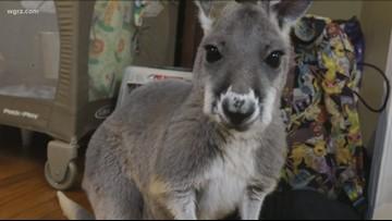 Kangaroo petting zoo coming soon to Niagara County