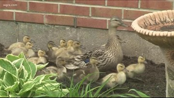 Ducklings Call Alden Primary School Courtyards Home Each Spring
