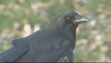 2 the Outdoors: Crows weathering winter