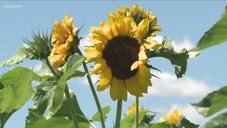 Sunflowers of Sanborn postpones opening day to August 2